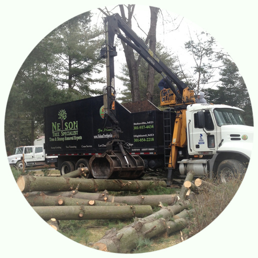 Dead Wood Removal in Silver Spring MD