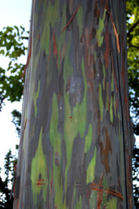Rainbow Eucalyptus trees are native to New Guinea and don't stick to a single shade throughout the year. Every time the bark flakes off as it ages, new colors will be revealed.