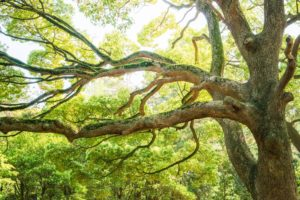 Healthy Tree with No Salt Damage