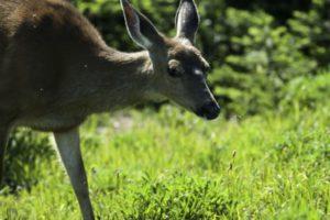 Deer Scavengers