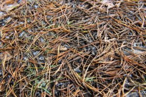 Brown Evergreens Needles