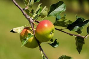 Fruit Trees: When is the Best Time to Harvest?