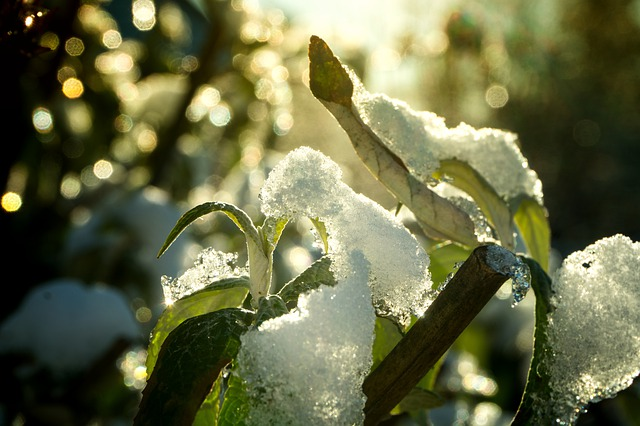 Snow on a tree's leaves, Maryland-Washington, DC, Nelson Tree Specialist
