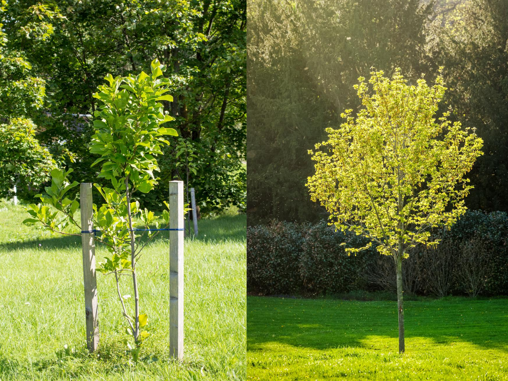 How to Care for a Newly-Planted Tree