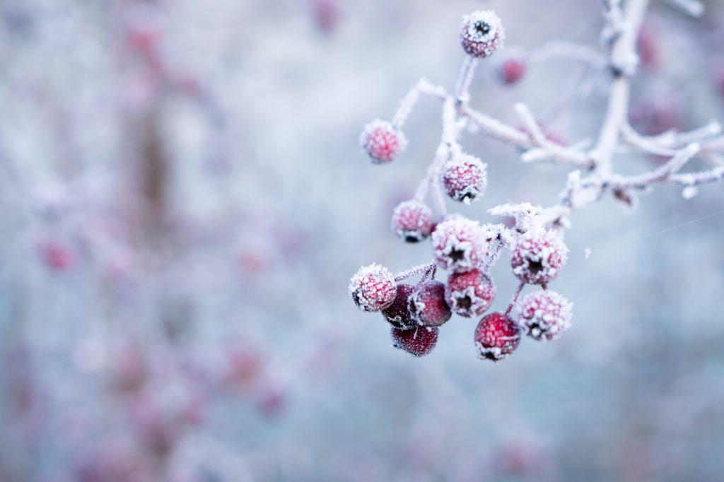 frozen berries, Maryland-Washington, DC, Nelson Tree Specialist